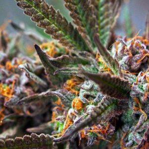 Buy Zensation weed UK