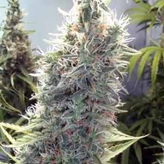 Cinderella 99 Weed Strain UK