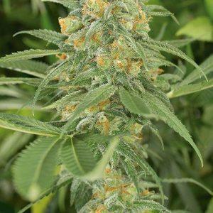 Buy Green crack Weed UK