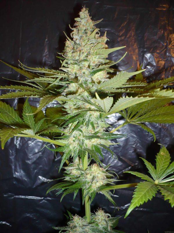 Buy wonder woman weed UK