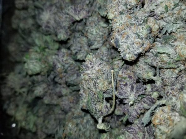 Blackwater Weed Strain UK