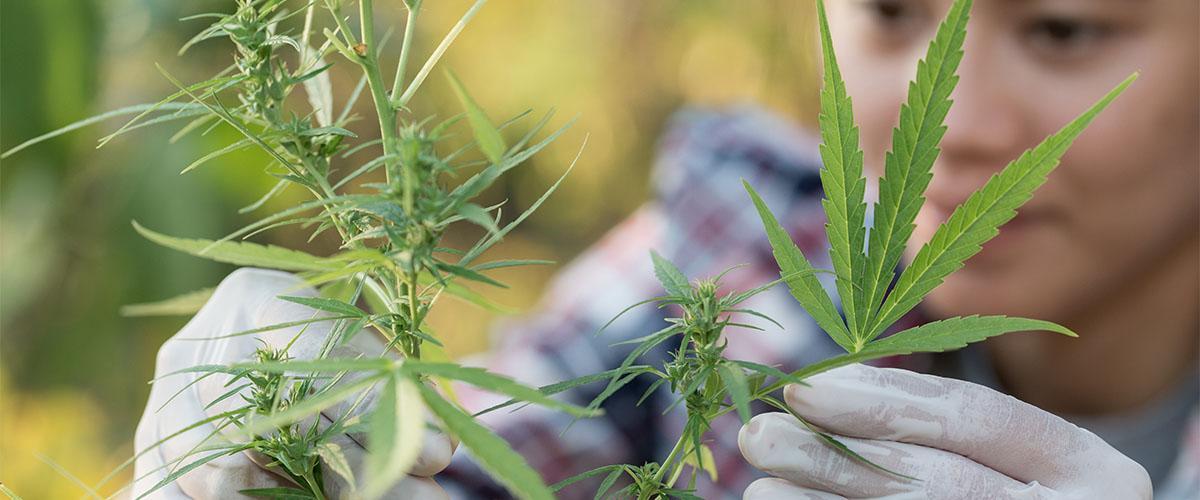 Benefits of Marijuana UK